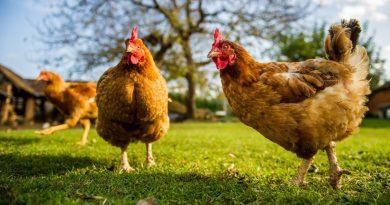 닭의 빠른성장에 관한 연구결과